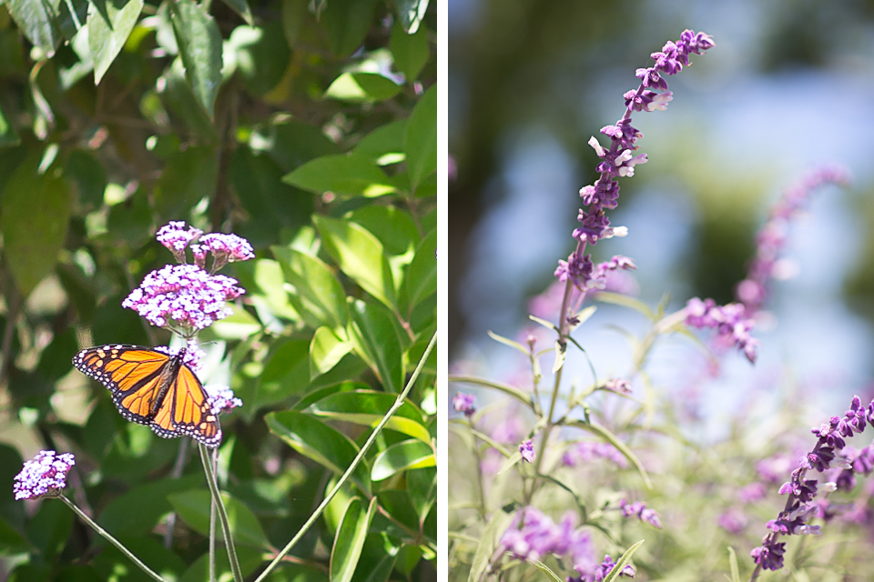 Santa Barbara - Fes Parker Winery - Butterfly